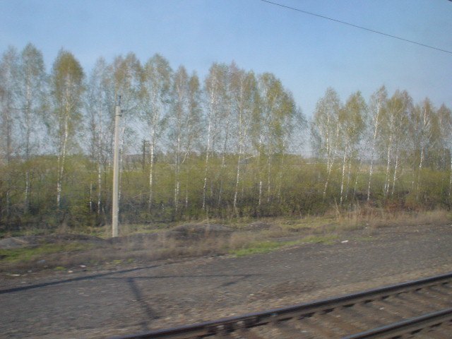Endless stands of birch trees